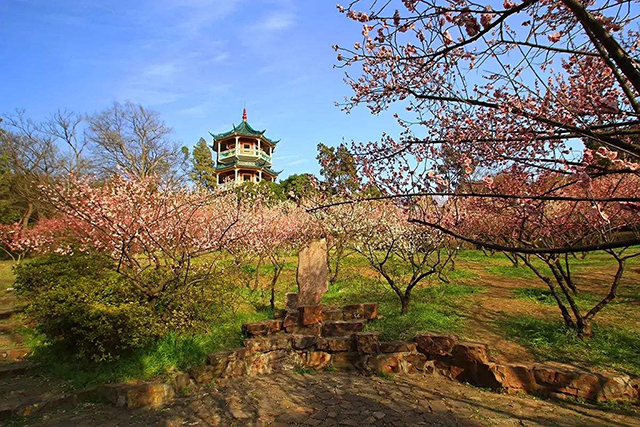 Top 10 Most Beautiful Plum Gardens in China-Shanghai Dianshan Lake Plum Garden