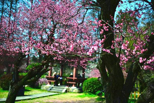 Top 10 Most Beautiful Plum Gardens in China-Wuhan Moshan Plum