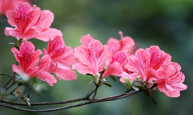 Top 10 Famous Flowers in China-Azalea – the flower is like a brocade