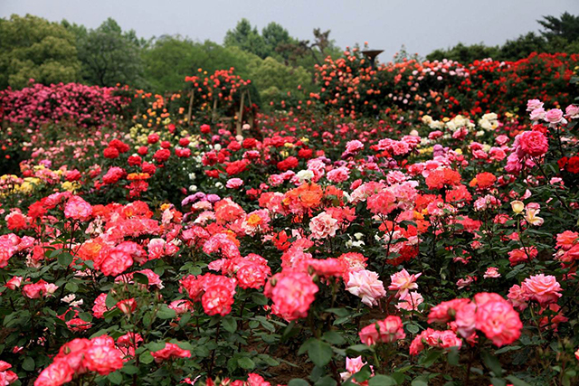 Top 10 Famous Flowers in China-Chinese Rose – Queen of Flowers