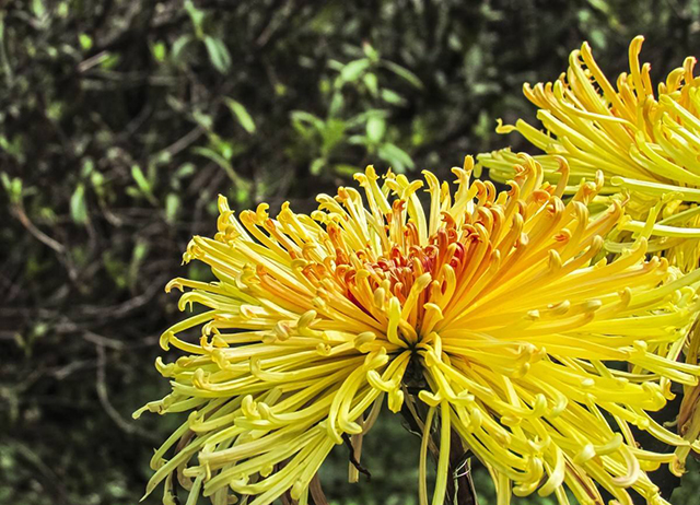 Top 10 Famous Flowers in China-Chrysanthemum – not afraid of frost display lava