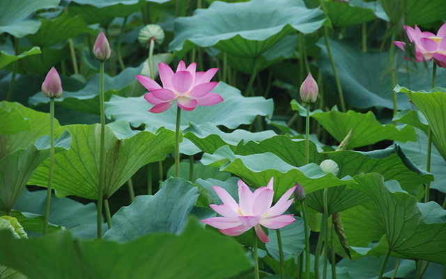 Top 10 Famous Flowers in China-Lotus – hibiscus in water