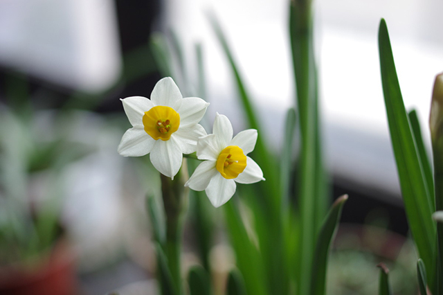 Top 10 Famous Flowers in China-Narcissus – the most beautiful fairy