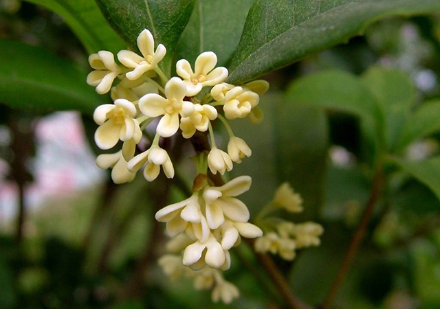 Top 10 Famous Flowers in China-Osmanthus – Ten miles of fragrance
