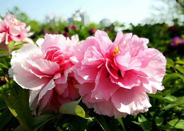 Top 10 Famous Flowers in China-Peony – the king of flowers